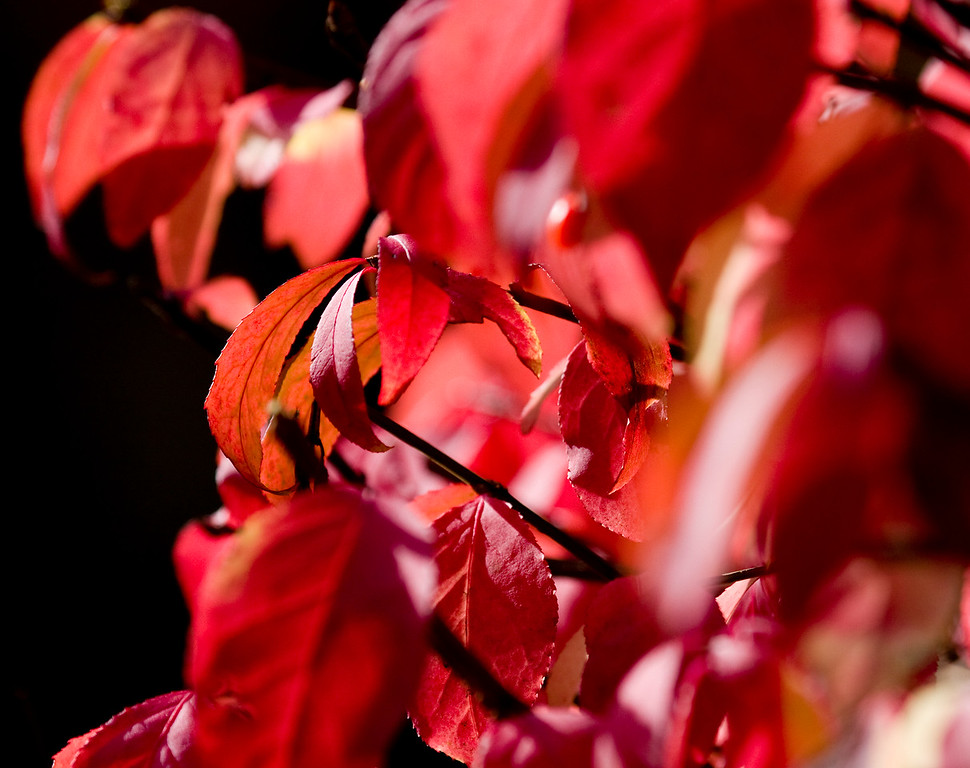 11/09/09  The Final Blaze of Color<br /> <br /> Our burning bush is aflame in her finest scarlet hues as November moves along with a string of lovely warm days to remind us of what we have left behind.  It has been a spectacular autumn in New England...